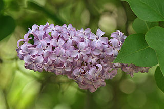 320px-Lilac_Flower&Leaves,_SC,_Vic,_13.10.2007